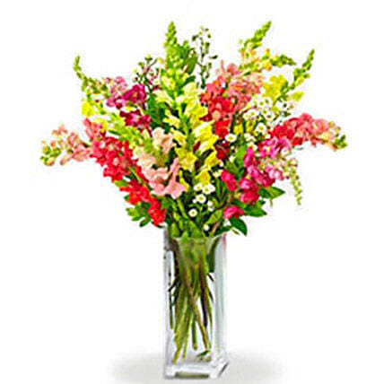 Rainbow Snapdragon: Congratulation Flowers in Canada