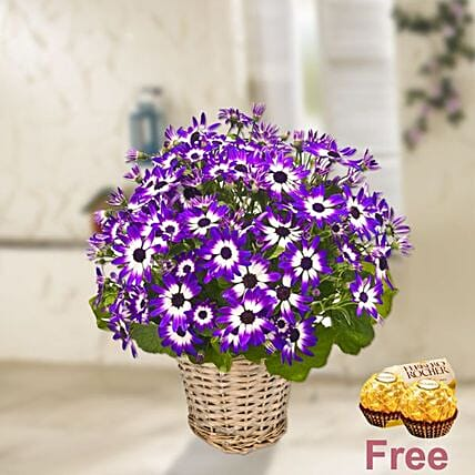 Two Hued Chrysanthemum Basket With Chocolates: Sorry Flowers to Germany