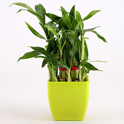 2 Layer Bamboo Plant In Green Melamine Pot: Good Luck Plants
