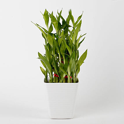 3 Layer Bamboo Plant in Striped Imported Plastic Pot: Bamboo Plants