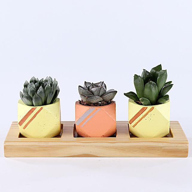3 Succulent Plants In Mini Octave Concrete Pots: Exotic Plants