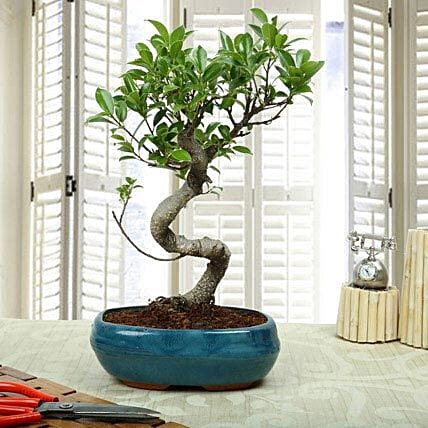 Amazing Bonsai Ficus S Shaped Plant: Congratulations Gifts