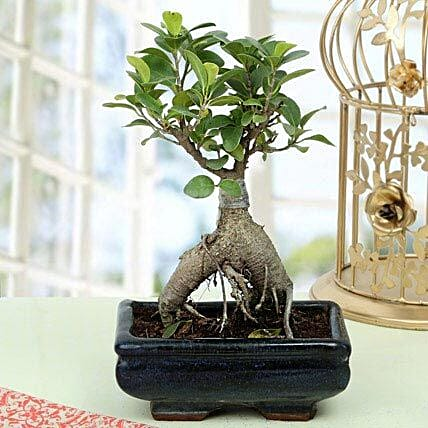 Appealing Ficus Ginseng Bonsai Plant: Gifts for Dussehra