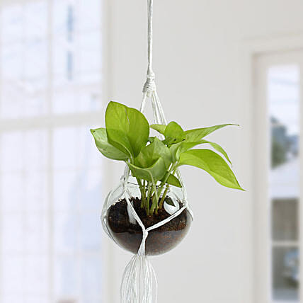 Beautiful Golden Pothos Hanging Terrarium:
