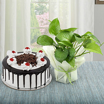 Black Forest Cake With Money Plant: Cakes Combo