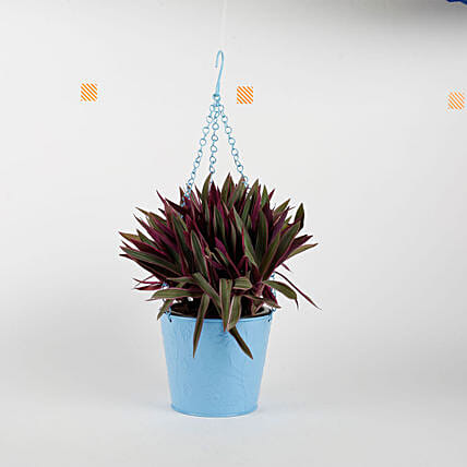 Boat Lily in Hanging Blue Metal Bucket: Flowering Plants