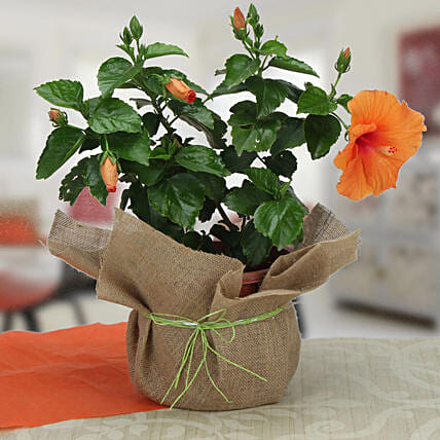 Delightful Hibiscus Plant: Hibiscus Plants