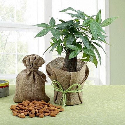 Dry Fruits N Pachira Bonsai: Bonsai Plants