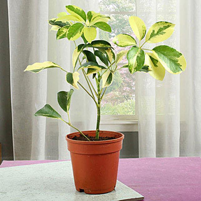 Elegant Schefflera Plant: Send Shrubs