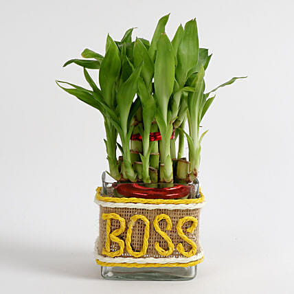 Evergreen 2 Layer Lucky Bamboo Plant For Boss Gift