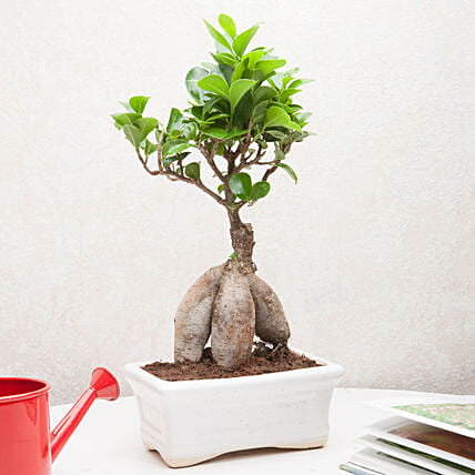 Exotic Ficus Bonsai Plant: Office Desk Plants