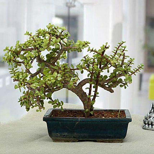 Fabulous Jade Bonsai Plant: Feng Shui Gifts