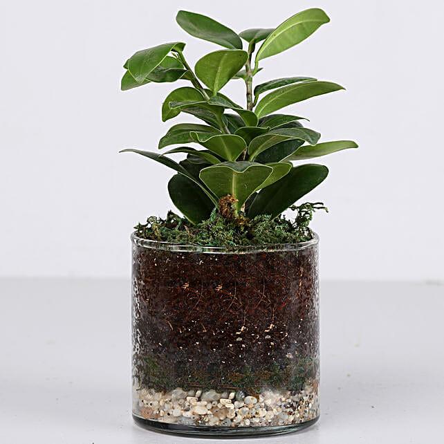 "Ficus Compacta Plant 4"" Cylinder Glass Terrarium: Ornamental Plant Gifts"