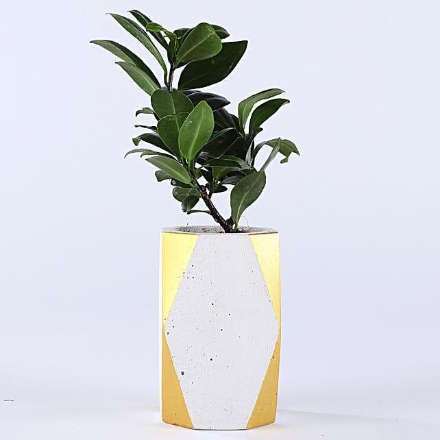 Ficus Compacta Plant In Designer Concrete Pot: Bonsai Plants