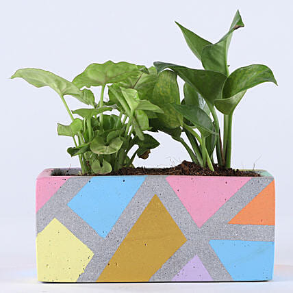 Foliage Plant Combo In Grey Concrete Pot: Money Plant