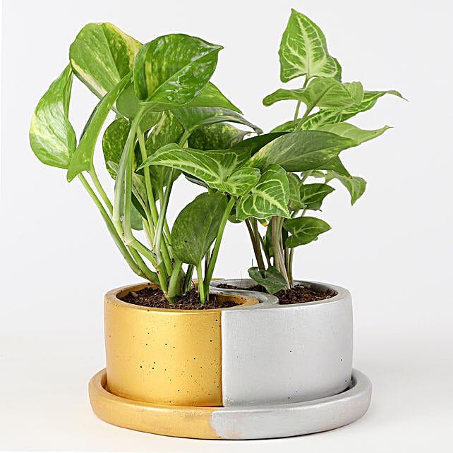 Foliage Plants In Yin Yang Ceramic Pot: Ornamental Plant Gifts
