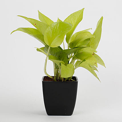 Golden Money Plant in Black Imported Plastic Pot: Succulents and Cactus Plants