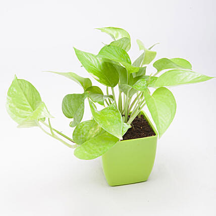 Golden Money Plant in Green Plastic Pot: Money Plant