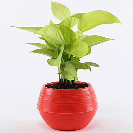 Golden Money Plant In Red Pot: Ornamental Plants