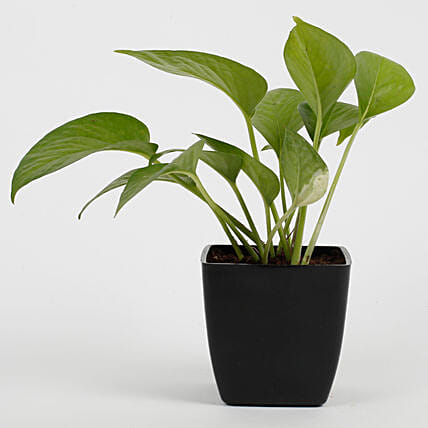 Green Money Plant in Imported Plastic Pot: Money Tree