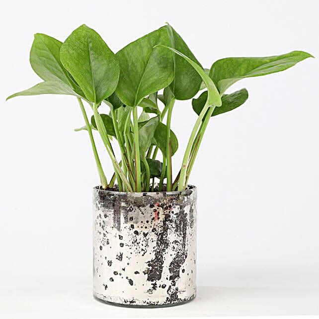 Green Money Plant In Silver Glass Vase: Money Tree