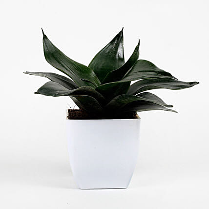 Green Sansevieria Plant In White Imported Plastic Pot: Good Luck Plants