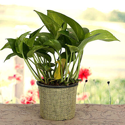 Growing 24x7 Money Plant: Feng Shui Gifts