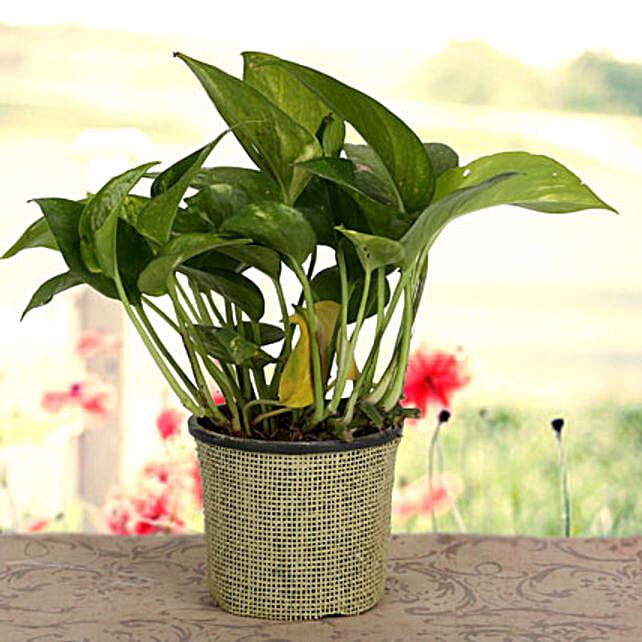 Growing 24x7 Money Plant: Spiritual Gifts