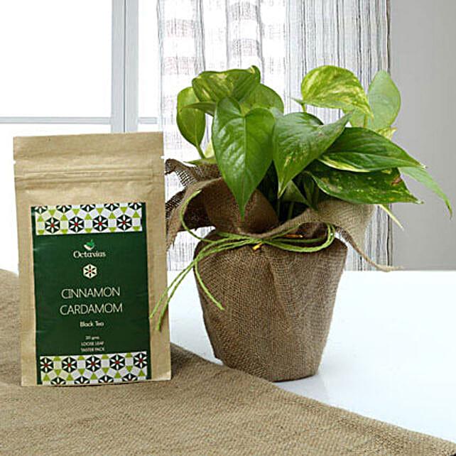 Health n Money Combo: Money Plant