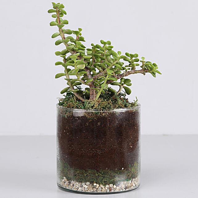 "Jade Plant 4"" Cylinder Glass Terrarium: Ornamental Plants"