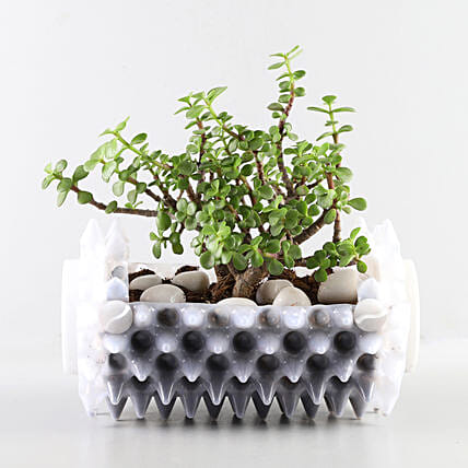 Jade Plant In White Foldable Planter: Outdoor Plants