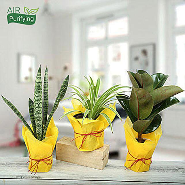 Live Green Trio Plants: Foliage Plants