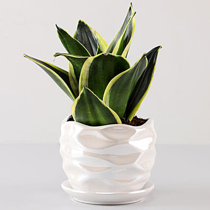 Lotus Sansevieria in Pearl White Wave Planter: Indoor Plants