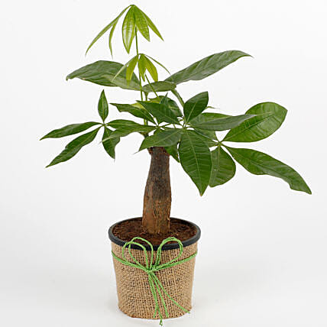 Lucky Pachira Bonsai Plant: Feng Shui Gifts