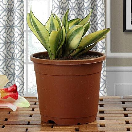 Lush Green Sansevieria Plant: Home Decor Anniversary Gifts