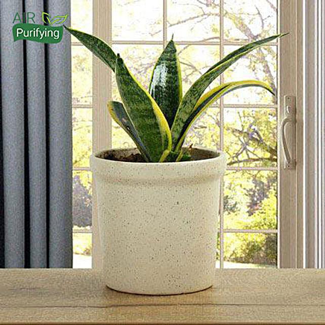 MILT Sansevieria Plant: Send Good Luck Plants