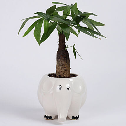 Pachira Bonsai in Elephant Ceramic Pot: Tropical Plants