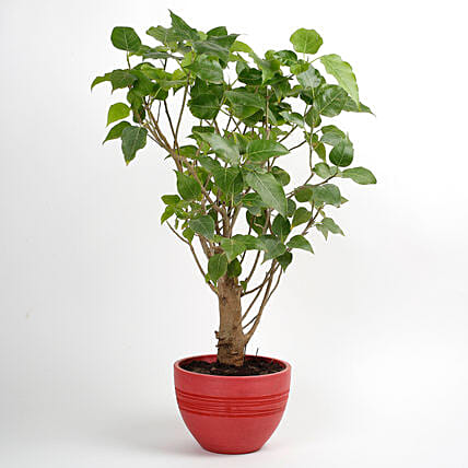 Paras Peepal Bonsai Plant in Recycled Plastic Pot: Air Purifying Plants
