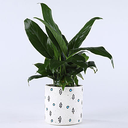 Peace Lily Plant In Printed Concrete Pot: Flowering Plants