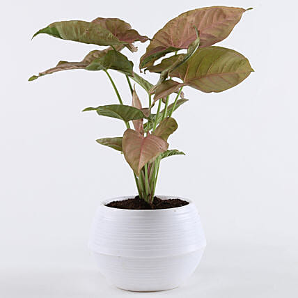 Pink Syngonium Plant In White Pot: Gifts for Teachers Day