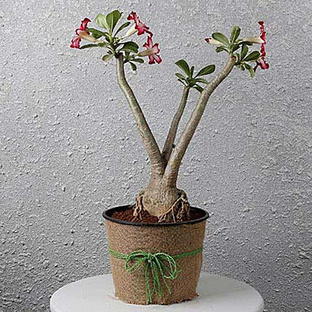 Pretty Desert Rose Bonsai Plant: Bonsai Plants