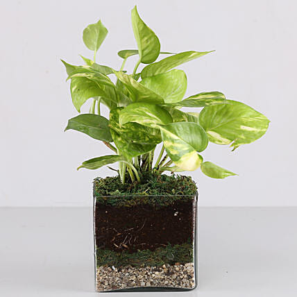 "Scindapsus Gold King Plant 4"" Glass Terrarium: Gifts to India"