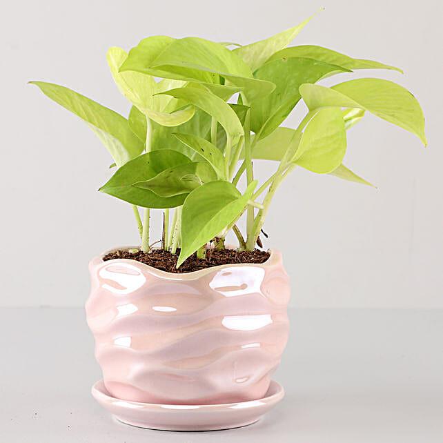 Scindapsus Golden In Pearl Pink Wave Planter: Indoor Plants