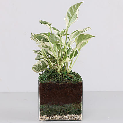 "Scindapsus N'Joy Plant 4"" Glass Terrarium: Gift Ideas"