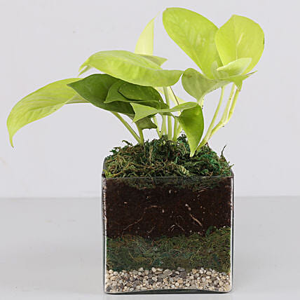 "Scindapsus Neon Plant 4"" Glass Terrarium: Gifts to India"