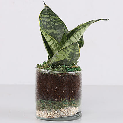 "Snake Plant 3"" Glass Terrarium: Gifts to India"