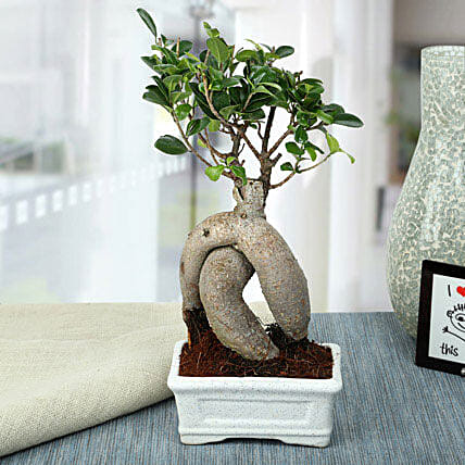 Splendid Ficus Ginseng Bonsai Plant: Gifts for Hug Day