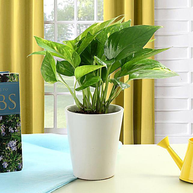 Striking Money Plant: Desktop Plants
