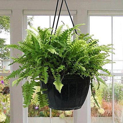 Stunning Boston Fern Plant FNP: Exotic Plant Gifts