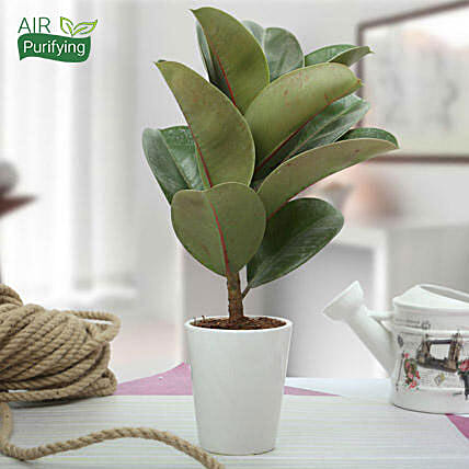 Stunning Rubber Plant: Exotic Plant Gifts